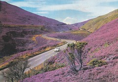 postcard of purple heather (Calluna vulgaris) on Slochd Pass, Inverness-shire, Scotland (johnjennings995) Tags: scotland purple heather postcard vulgaris invernessshire calluna callunavulgaris slochdpass