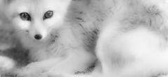 Au Del des Ombres / Beyond Shadows (Pilouchy) Tags: wild portrait eye monochrome animal eyes noir free lumiere dela blanc regard ombres