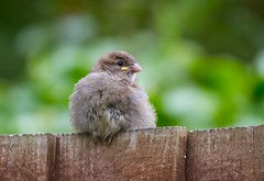 My first Baby (Karen Antcliffe) Tags: baby cold young chick sparrow