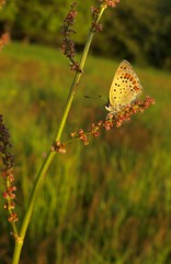 Brauner Feuerfalter [ Sooty copper ] [ Sotguldvinge ] ( Lycaena tityrus ) (ritschif) Tags: butterfly natur tier insekten schmetterlinge sootycopper lycaenatityrus tagfalter braunerfeuerfalter dagfjrilar sotguldvinge