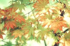 Maple leaves (JPShen) Tags: leaves maple