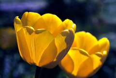 Twosome (ninayak- Off on Thursdays) Tags: macro yellow spring nikon blossom may micro tulip bloom 60mm nikkor f28 d60