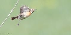 Saxicola torquata (Glenn van Windt) Tags: bird nature natuur aves vogel saxicolatorquata lijster stonechat trush roodborsttapuit canonef300mmf28lisusm