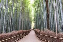 Arashiyama I (Douguerreotype) Tags: people tree green nature japan forest kyoto path bamboo