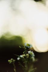 177 (kandzsem) Tags: sun flower bokeh f2 straight helios 442