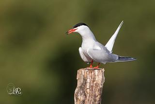 Sterne pierregarin - Sterna hirundo (Domaine Des Oiseaux, Ariège) 28 mai 2016