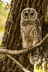 Wide-Eyed Kid (ac4photos.) Tags: bird nature animal nikon florida wildlife owl ac tamron juvenile barred barredowl naturephotography animalphotography birdphotography wildlifephotography d300s ac4photos
