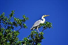 Position dominante (Diegojack) Tags: nikon oiseaux verne tolochenaz embouchure aulne boiron hrons nikonpassion d7200