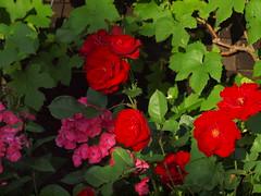 schwieriges Rot (bratispixl) Tags: germany oberbayern spot tele schrfentiefe chiemgau lichtwechsel blumengarten traunreut rosenbltenbltter fokussierung stadtrundweg bratispixl