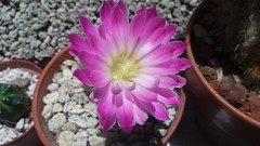 Echinocereus bristolli. Junio 2016. (garconwii) Tags: cactus echinocereus bristolli