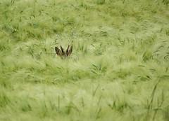 All ears! (rockwolf) Tags: france mammal indre cereal ears deer crop roedeer 2016 capreoluscapreolus labrenne rockwolf barleyears deerears
