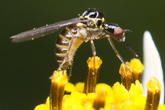 Body Stuffing (Eric Gitonga) Tags: macro male nature animal female mouth insect wings eyes legs kenya head sting nairobi egg flight grow kingdom sperm exoskeleton segment stinger moult crawl antenna arthropods animalia arthropoda develop thorax misunderstood abdomen segmented 6legs insecta fertilization compoundeye sixlegs phylum exuvia instar simpleeye northernbypass ericgitonga njathaini pickengardensestate