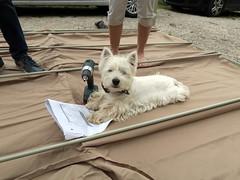 Chef de chantier (LILI 296....) Tags: dog chien animal humor westie humour perro blanc