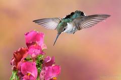 Female Ruby-throated Hummingbird (2016-06-26 2788) (bechtelsf) Tags: nikon d810 nikon80400mm flower bird hummingbird animals wildlife nature rubythroated wing inflight flying