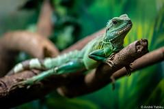 modeling (Andre Yabiku) Tags: brazil green southamerica br sopaulo iguana institutobutanta yabiku andreyabiku