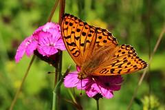 Falter (Hugo von Schreck) Tags: macro butterfly insect von hugo makro insekt schmetterling schreck utterfly argynnisaglaja groserperlmutterfalter onlythebestofnature tamron28300mmf3563divcpzda010 canoneos5dsr