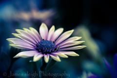 Nikon d5300 macro (Jasrmcf) Tags: pink blur flower detail macro nature beautiful contrast garden petals nikon dof purple smooth colourful 40mm nikkor nikonmacro bokehlicious bokehgraph