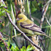American Goldfinch_female