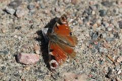 Pfgelga 'Inachis io' (P upptcktsfrd i naturen) Tags: fjril blberga juni 2016 pfgelga inachisio ktadagfjrilar papilionoidea praktfjrilar nymphalidae vinterpraktfjrilar nymphalinae nymphalini inachis