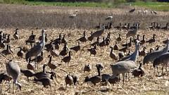 Sandhill Cranes at Sauvie Island (linda long) Tags: nature birds video wildlife panasonic avian sandhillcranes sauvieisland oregonbirds