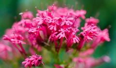 I don't know the name of these flowers but I like them :) (musti_west) Tags: pink flower macro nature bell sweet outdoor sony natur rosa blumen alpha makro 6000 flourish blhen ss glckchen
