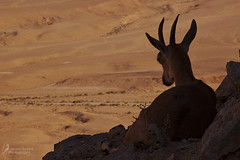 watching over the desert (Israel Nature Photography by Ary) Tags: nature canon israel desert wildlife ibex 600d apsc