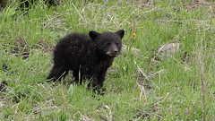 Black Bear cub (Hammerchewer) Tags: bear cub outdoor wildlife yellowstone blackbear