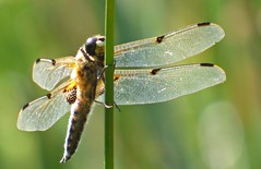 Four Spotted Chaser (Libellula quadrimaculata) (M) (postman.pete) Tags: wow taiwan fence airplane seaside pretty brexit sunshine restaurant design history hotel flag buildings waves coffee weather pond autumn sculpture cool kids trail tower naturaleza cityscape ship smile sydney referendum happy leaves dusk colors outdoors farm hff berlin hill blossom vehicle noiretblanc waterfall temple metal glass flickr colorful bus digital four spotted chaser libellula quadrimaculata m