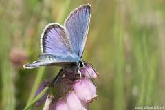 DN9A2851 (Josette Veltman) Tags: macro canon butterfly insect natuur bugs argus vlinder canon100mmmacro natuurmonumenten plebejusargus plebejus canon100mm28 macrofotografie heideblauwtjeheideblauwtjedopheide