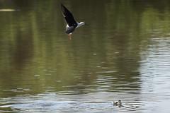_DSC8776 (Carmen Coronado) Tags: naturaleza valencia fauna pjaros albufera sigma150500f563apodgos nikond750