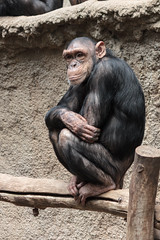 In Gedanken.. | ..In Thoughts (Sorgenfred) Tags: wood stem sitting chimp relaxing thinking ape relaxed holz apes entspannt affen inthought affe stamm schimpanse sitzend denkend entspannend ingedanken