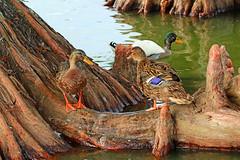 doing well my friend ^ (Dianne M.) Tags: wood lake nature water outside florida birding ducks cypress lakeland mallards