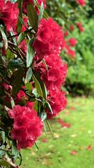 Day 6 11 Logan Botanic Garden red flowers (bob watt) Tags: uk plants flower june canon scotland 7d 2016 18135mm loganbotanicgarden canoneos7d kirkcudbrightholidayjune2016