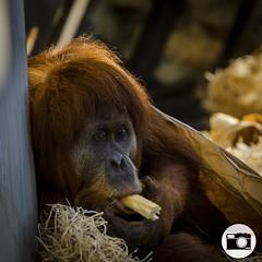 Melbourne Zoo (dylanm1999) Tags: animal zoo monkey melbourne orangutan