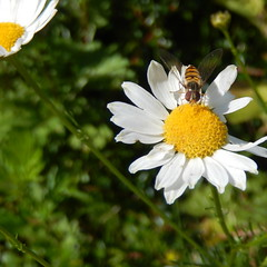 (Landanna) Tags: flower bug insect square blomst insekt bloem margriet