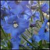 blue (foto.phrend) Tags: flowers blue summer garden square yorkshire leeds fujifilm delphinium