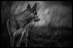 Un Bruit qui Court / Running Noise (Pilouchy) Tags: wood wild blackandwhite dog france nature monochrome animal bokeh champs free prairie campagne chemin calme bruit littledoglaughednoiret
