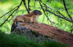 Marmotta dei Boschi (mr.martino) Tags: mountain fauna wildlife marmot marmotta granparadiso valsavarenche pngp