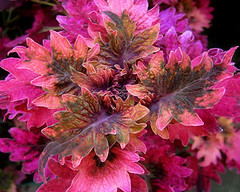 Coleus (Mary Faith.) Tags: mygearandme ipiccy