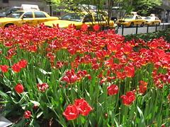 Tulips on Park Avenue