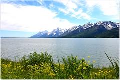 Allons tout de suite  l'essentiel de cette srie : Le Grand Teton qui se mire dans Jackson Lake. Le climat de la rgion est trs rude en hiver ce qui fait que le lac gle avec parfois une paisseur de glace pouvant atteindre environ 1,8 mtre. (Barbara DALMAZZO-TEMPEL) Tags: usa yellowstone wyoming grandtetonnp jacksonlake