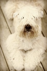 Shaggy DA (milikin) Tags: softcoatedwheatenterrier scwt