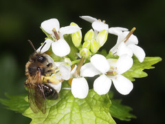 Andrena (Euandrena) bicolor f (terraincognita96) Tags: germany nordrheinwestfalen oberhausen bicolor andrena northrhinewestfalia andrenidae euandrena