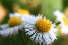 philadelphia fleabane -  (turntable00000) Tags: park white flower philadelphia japan tokyo spring sony 365 mitaka   inokashira nex  fleabane   musashino  2013   turntable00000
