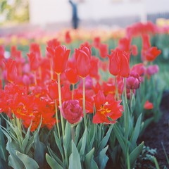 Tulips ~ Hasselblad (ildavenport) Tags: tulips hasselblad bridgeportct 503cx colorblends maplehalletstreets