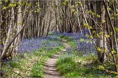 Bluebell path (Smudge 9000) Tags: uk bluebells forest woodland kent spring kingswood hyacinthoides 2013