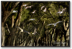 The ghost birds. (lada/photo) Tags: birds flockofbirds ladaphoto