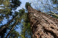 Looking Up (Don White (Burnaby) Thanks for the Three Million V) Tags: centralpark talltrees sonyemountlenses