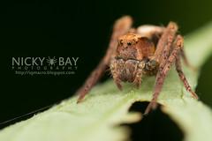 Lynx Spider (Hamataliwa sp.) - DSC_3174 (nickybay) Tags: macro spider singapore lynx oxyopidae bukittimahnaturereserve hamataliwa