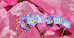 In the pink.. (yvonnelives...) Tags: pink nature fly blossom forgetmenots